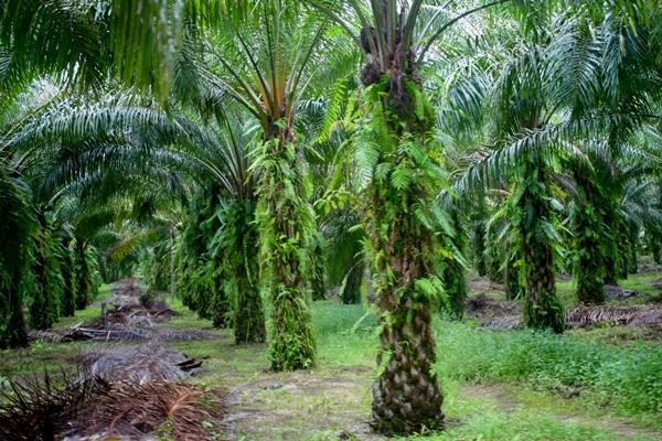 Once mature the oil palm will reach 15 meters or 45 feet high and provides a lush