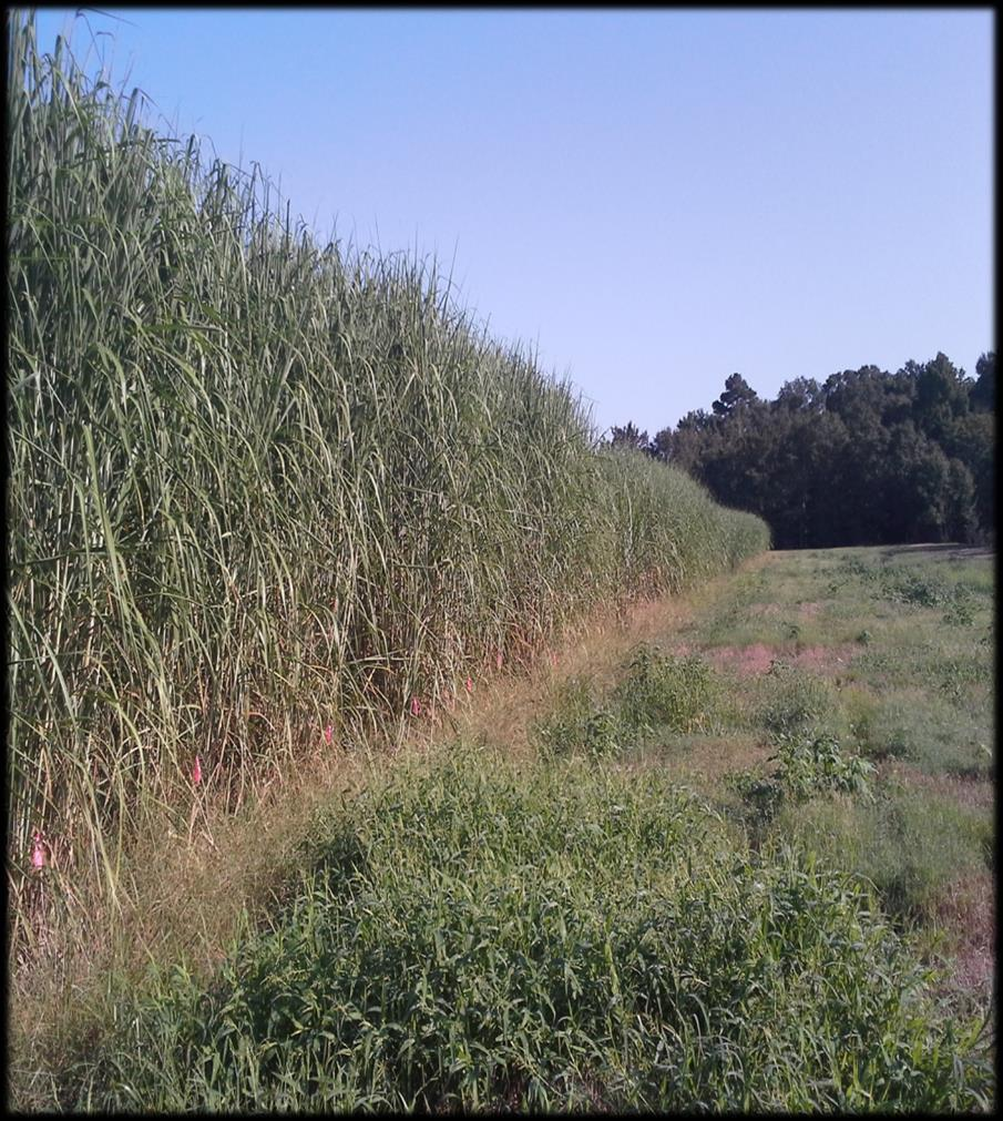 Energycane Sugarcane a hybrid, ~ perennial High fiber, low sugar USDA ARS