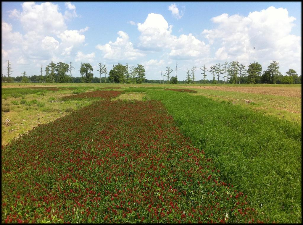 Sweet Sorghum Inputs Cover crops provide necessary nitrogen Planting cost