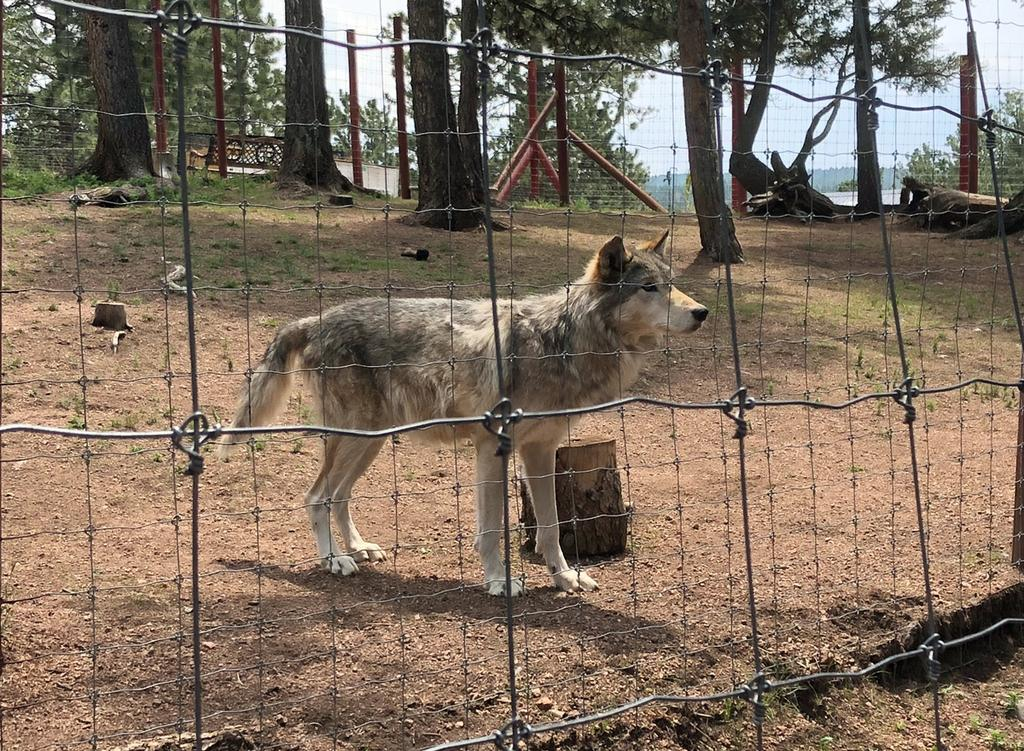 The Colorado Wolf and Wildlife Center is home to 16 wolves, as well as coyotes and fox, who each live and thrive in large wooded enclosures.